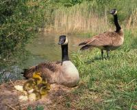 Photo of Canada geese pair with nest and goslings
