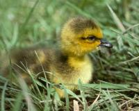 Photo of young Canada goose gosling