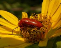 Photo of Nemognatha blister beetle on sunflower