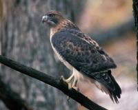 Photo of a red-tailed hawk perched on a branch