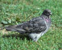Photo of gray rock pigeon standing on a city lawn