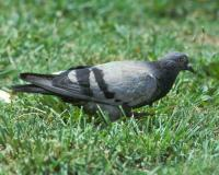 Photo of gray rock pigeon walking on a city lawn
