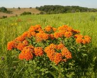 Photo of butterfly weed plant on a prairie