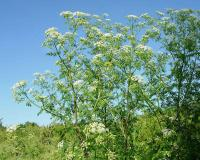 Photo of common water hemlock or spotted cowbane plant