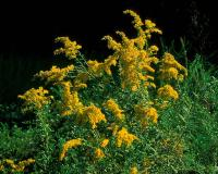 Photo of unidentified goldenrod plant with flowers