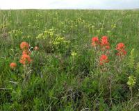Photo of Indian paintbrush and wood betony plants in a prairie