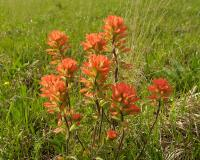 Photo of a cluster of Indian paintbrush stalks in bloom