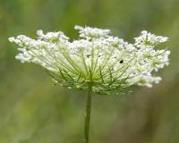 Photo of a Queen Anne's lace flower cluster, seen from the side