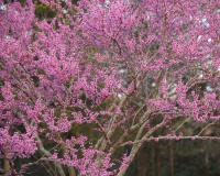 Photo of an eastern redbud tree in bloom