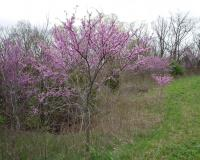 Photo of an eastern redbud tree growing at woodland border