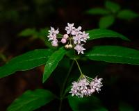 Photo of fourleaf milkweed plant with flower clusters