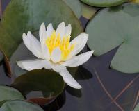 Photo of fragrant water lily flower with lilypads
