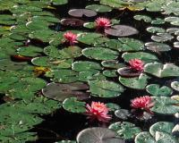 Photo of water lily pads and flowers on a pond