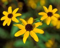 Photo of brown-eyed Susan flowers.
