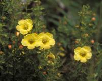 Photo of combleaf yellow false foxglove showing flowers.