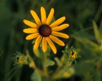 Photo of black-eyed Susan flowerhead.