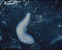 Photo of a pink planarian curled on a black rock.