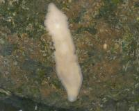 Photo of a pink planarian on a grayish rock, head at bottom of picture.