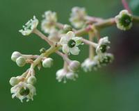 Photo of pokeweed flower stalk showing details of flower structure.