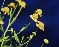 Photo of autumn sneezeweed flowerheads, side view, with blue background.