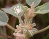 Photo of blooming hogwort plant, showing male and female flowers.