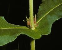 Photo of common horse gentian stem node showing flowers forming at leaf bases.