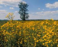 Photo of tickseed sunflower colony in a field.