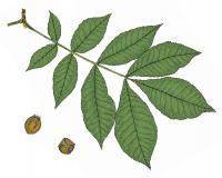 Illustration of bitternut hickory leaves and nuts.