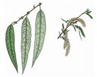 Illustration of black willow leaves and catkins.