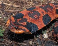 Photo of an orangish eastern hog-nosed snake, head spread.