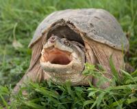 Photo of a snapping turtle on grass gaping at camera.
