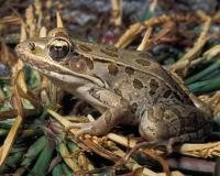 Photo of a southern leopard frog on grass.