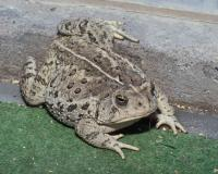 Photo of a Woodhouse's toad on indoor-outdoor carpet.
