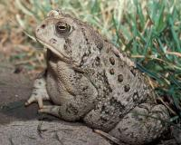 Photo of a Woodhouse's toad with elbows propped on a concrete ledge.