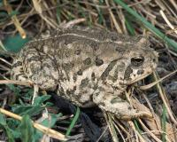 Photo of a Woodhouse's toad walking in grass, showing back.