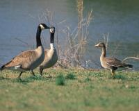 Photo of two Canada geese and a white-fronted goose standing near a lake.