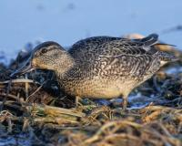 Photo of a female green-winged teal standing in shallow soggy grasses.