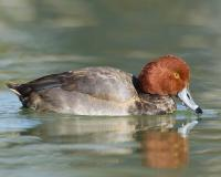 Photo of redhead drake floating on water.