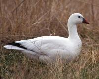 Photo of a Ross's goose.