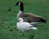 Photo of a Ross's goose standing near a Canada goose.