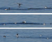 Bufflehead courtship displays are a series of exact movements that drakes use to