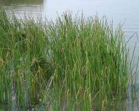 Photo of chairmaker's rush plants growing in shallow water of a lake.