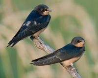 Photo of two juvenile barn swallows, perched.