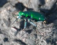 Photo of a six-spotted tiger beetle from the side.