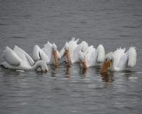 White Pelicans at Eagle Bluffs CA