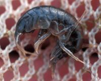 Photo of an amphipod, or scud, in a net.