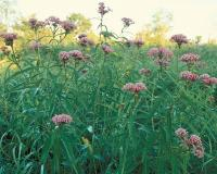 Photo of swamp milkweed colony in bloom.