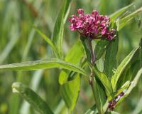 Photo of swamp milkweed, top of plant with flower cluster.