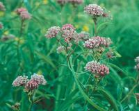 Photo of several swamp milkweed flower clusters.