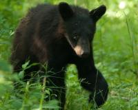 a young black bear in a green forest